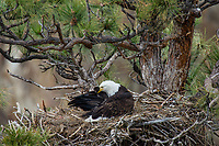 Bald Eagle Nest (Haliaeetus leucocephalus)--adult preening her feathers while sitting on--keeping young eaglet warm--nest in tall ponderosa pine tree.  Pacific Northwest,  April.