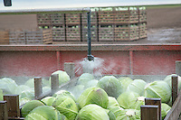 Applying a fungal drench to dutch white cabbage - Lincolnshire - November