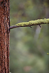 Moss on a ponderosa pine tree branch in a Montana National Forest