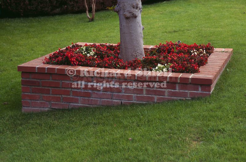 8604-OP Raised Brick Planter in Lawn, with Trunk of Ficus Tree, and Bedding Begonias, at Sherman Oaks, CA USA