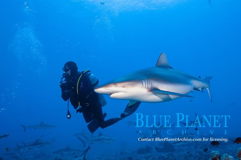 grey reef shark, Carcharhinus amblyrhynchos, Moorea, French Polynesia, South Pacific Ocean
