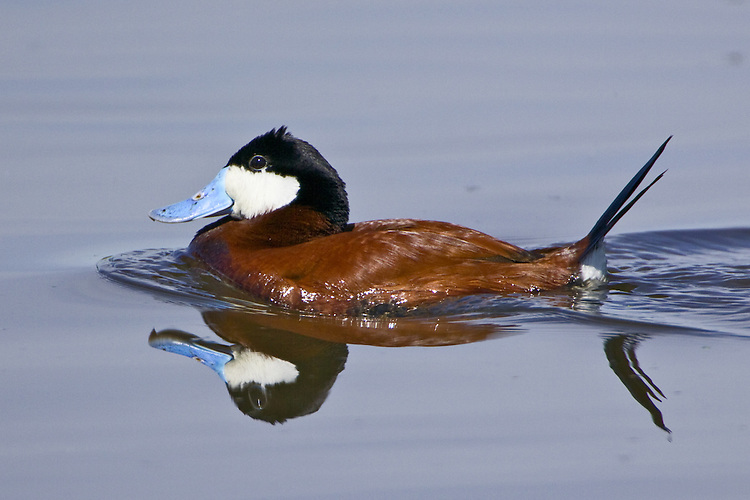 Ruddy Duck swimming on a lake
