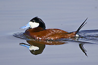 Ruddy Duck swimming on a lake