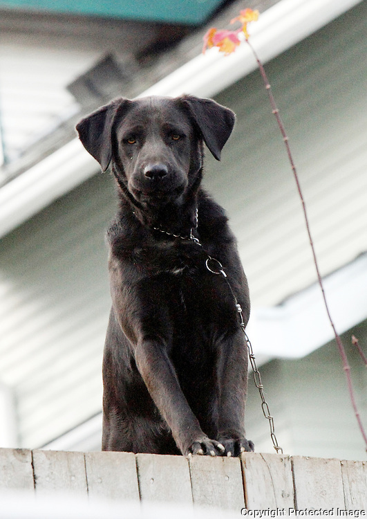 A chained dog barks at traffic from the backyard of this home in Rainier Beach in Seattle, Wash. on December 3, 2008.  Tethered dogs run the risk of hanging themselves if they leap out of their enclosure. (Karen Ducey/Seattle Post-Intelligencer)
