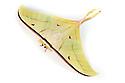 Indian Moon Moth / Indian Luna Moth {Actias selen} photographed on a white background. Captive. website