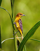 Adult female orchard oriole
