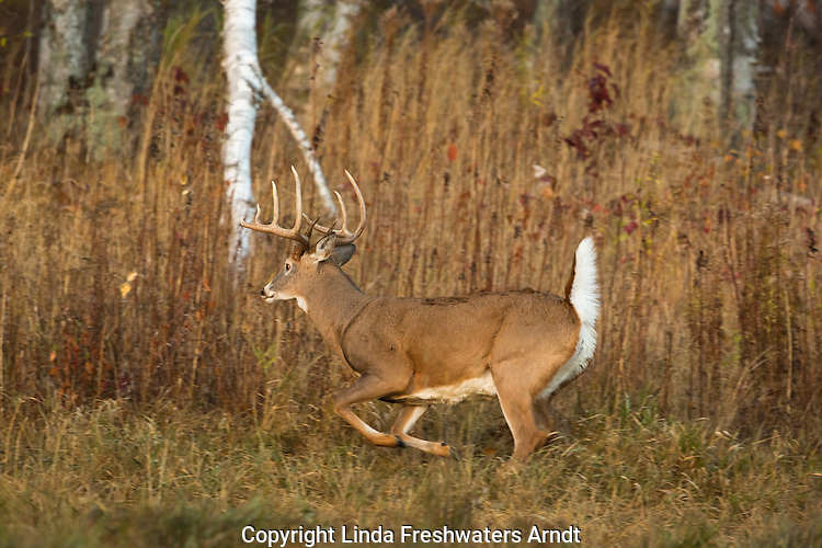 White-tailed buck escaping