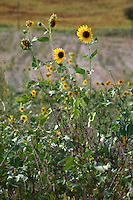A couple of small sunflowers that smile into the wind. The photo has been taken in Umbria, near Campello sul Clitunno.
