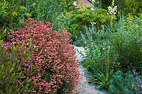 Euphorbia 'Canyon Gold' (wulfenii hybrid) spurge with rust colored seedheads by gravel path in Shelagh Tucker garden, Seattle, Washington