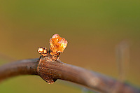 buds on the vine and counter-bud contre-bourgeon chateau pey la tour bordeaux france