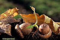 TT18-035b  Oak - seed germinating, acorn