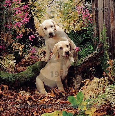 Kim, ANIMALS, dogs, photos(GBJBAK009,#A#) Hunde, perros ,puzzles