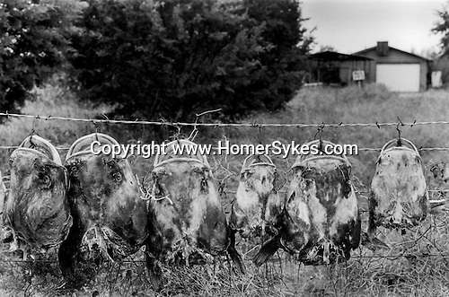 Lone Camp Texas USA 1999. Cat fish head hang on a fence.