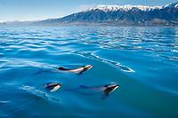 Hector's dolphins, Cephalorhynchus hectori, Kaikoura, New Zealand