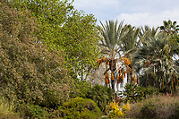 Mesa Oak, Date Palm and Mexican Blue Palm in Southern California demonstration garden by Western Municipal Water District, Riverside California