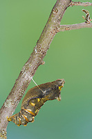 Pipevine Swallowtail, Battus philenor, Pupa hours before butterfly emerges, Uvalde County, Hill Country, Texas, USA