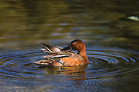 Cinnamon Teal (Anas cyanoptera), adult preening, Grand Teton NP,Wyoming, USA