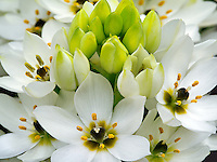 Close up of Star of Bethlehem (Ornithogalum)