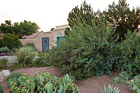 Front yard privacy shrub border with Mahonia haematocarpa and Texas Ranger - Leucophyllum langmaniae 'Lynn's Legacy' in New Mexico front yard garden, design by Judith Phillips