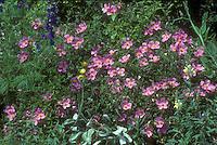 Cistus creticus with other plants