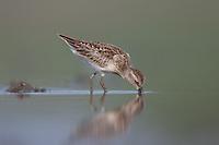Least Sandpiper (Calidris minutilla) - Juvenile, East Pond, Jamaica Bay Wildlife Refuge