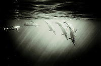 Black and white fine art work of Dolphins at Kealakekua bay, Big Island