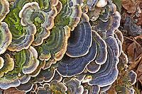 Schmetterlings-Tramete, Schmetterlingstramete, Bunte Tramete, Schmetterlingsporling, Bunter Porling, Trametes versicolor, Coriolus versicolor, Polyporus versicolor, Turkey tail, Turkeytail