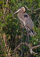 Great Blue Heron perched in a tree in evening light