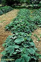 HS36-013x  Cucumber- Marketmore variety