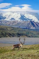 Caribou bull and Mount McKinley, Denali N.P., Alaska