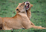 African Lions, Masai Mara National Reserve, Kenya
