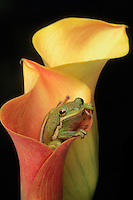 GREEN TREE FROG in lily..Southeastern & south-central USA..(Hyla cinerea).