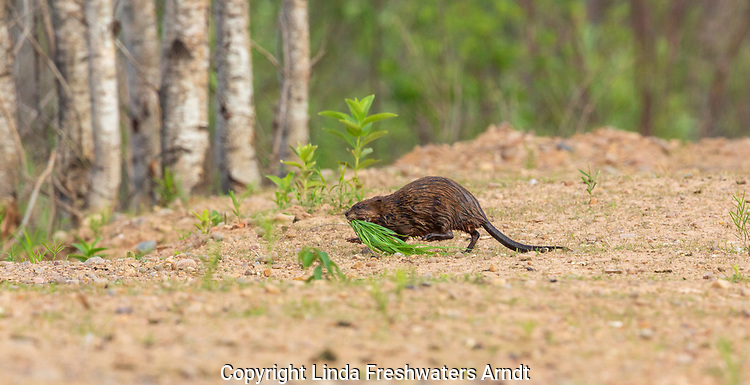 Muskrat carrying some vegetation between two bodies of water.