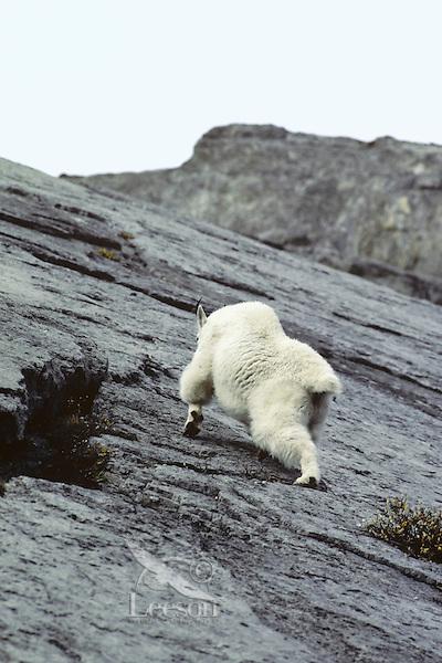 Mt. Goat climbing vertical wall. Northern Rockies.