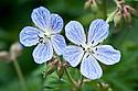 Geranium pratense 'Mrs Kendall Clark', mid May.