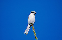 Northern Grey Shrike, Lanius excubitor, adult on Spruce top, Rothenthurm, Switzerland, November 1993