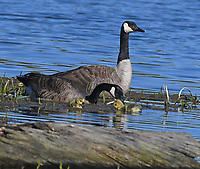 NEW ARRIVALS<br />Canada geese tend to their chicks in late April at Swepco Lake near Gentry.<br />(Courtesy photo/Terry Stanfill)