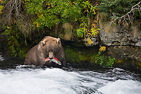 Brown bear catches a red salmon in the Brooks River, Katmai National Park, Alaska.