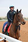 Track Work: February 19 2021: MILDENBERGER (GB) Track work from King Abddulaziz Racetrack, Riyadh, Saudi Arabia. Shamela Hanley/Eclipse Sportswire/CSM FEBRUARY 19 2021: The Saudi Cup Preparations.