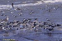 1Z02-043x  Laughing Gull - eating horseshoe crab eggs - Larus atricilla