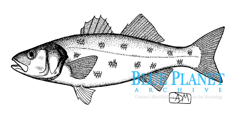European seabass, Dicentrarchus labrax, lateral view, pen and ink illustration.