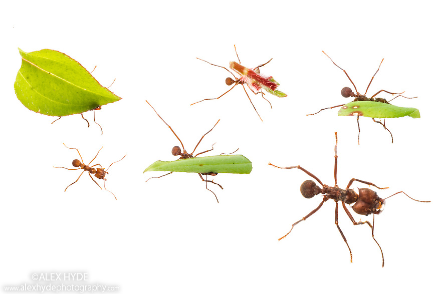 Leaf-cutter Ants {Atta cephalotes} carrying pieces of leaf that they have harvested back to their undeground fungus garden in their nest. The ant conlony feeds off this fungus. Osa Peninsula, Costa Rica. May. Photographed in mobile field studio on a white background. Digital composite image (ants photographed individually or in small groups).