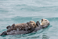 Sea Otter (Enhydra lutris) mom with young pup on Prince William Sound, Alaska.  Early spring snowstorm.
