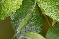 Großer Schillerfalter, Raupe frisst an Salweide, Apatura iris, Purple Emperor, caterpillar, Le Grand Mars changeant