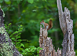 Red squirrel in a northern Wisconsin woodland.