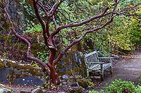 Red bark branches of Manzanita shrub (Arctostaphylos manzanita) by path with wooden bench in East Bay Regional Parks Botanic Garden