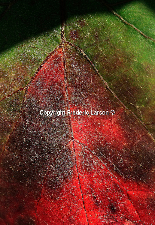Grape vine leaves in autumn colors in Napa Valley, California.