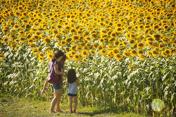 Larry Augur Farm, North Branford, CT. Sunflower field.