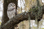 Damon, Texas; an adult Barred Owl contrasts the darker tree trunk behind while perched on the branch of a large, live oak tree with spanish moss, backlit in afternoon dappled light