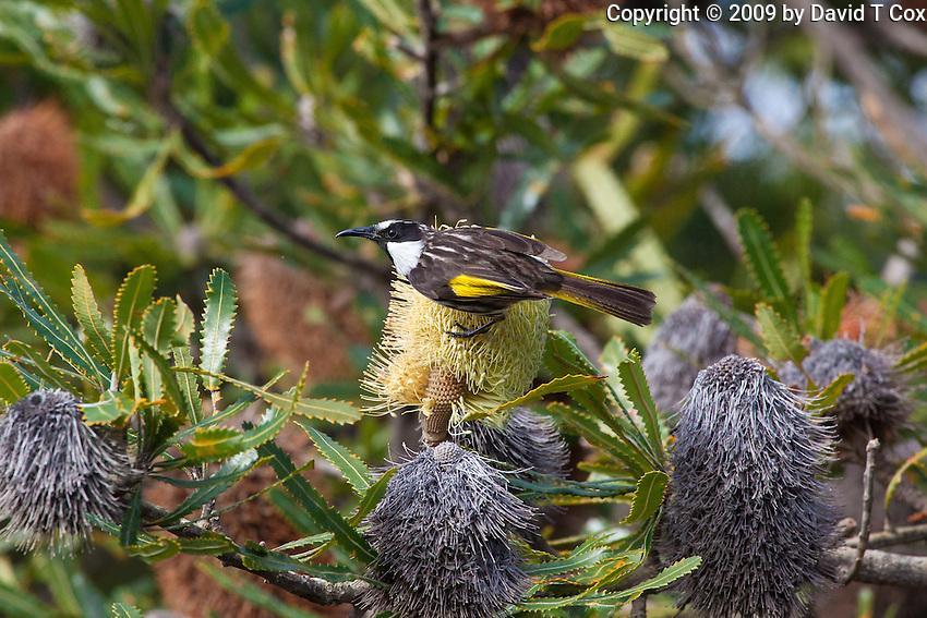 White-Cheeked Honeyeater, Yuragir NP, NSW, Australia